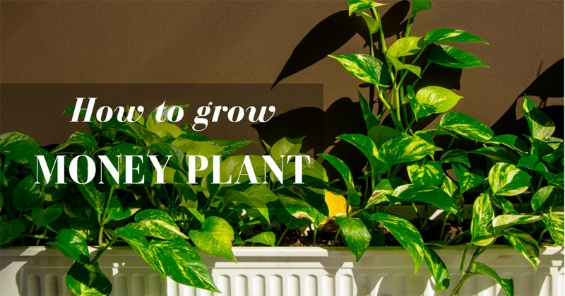 How to grow money plant