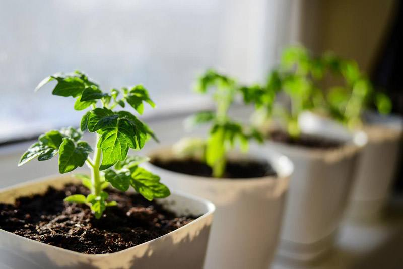 Young tomato plants growing out of soil
