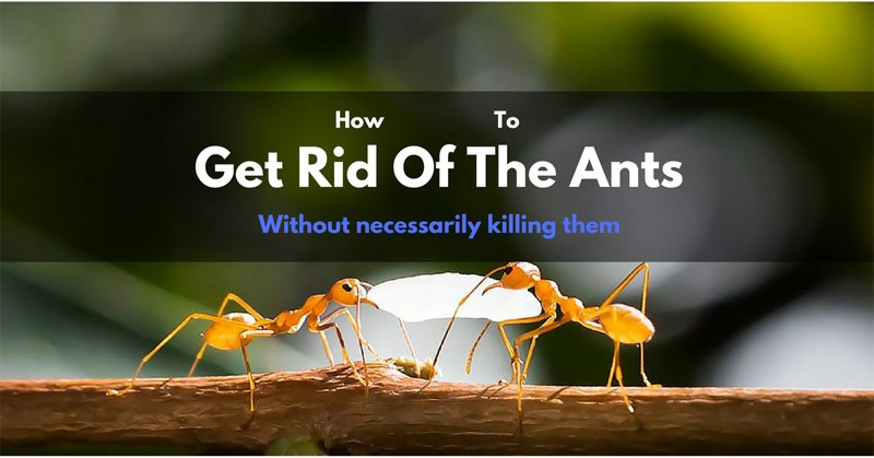 How to get rid of ants