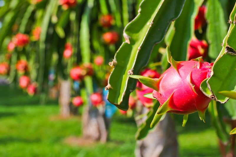 Grow Dragon Fruit