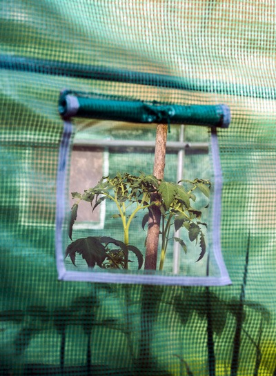 Tomato plant in a grow tent