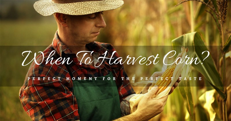 when to harvest corn