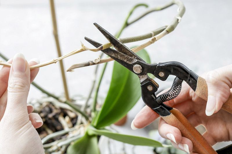 Cutting orchid roots