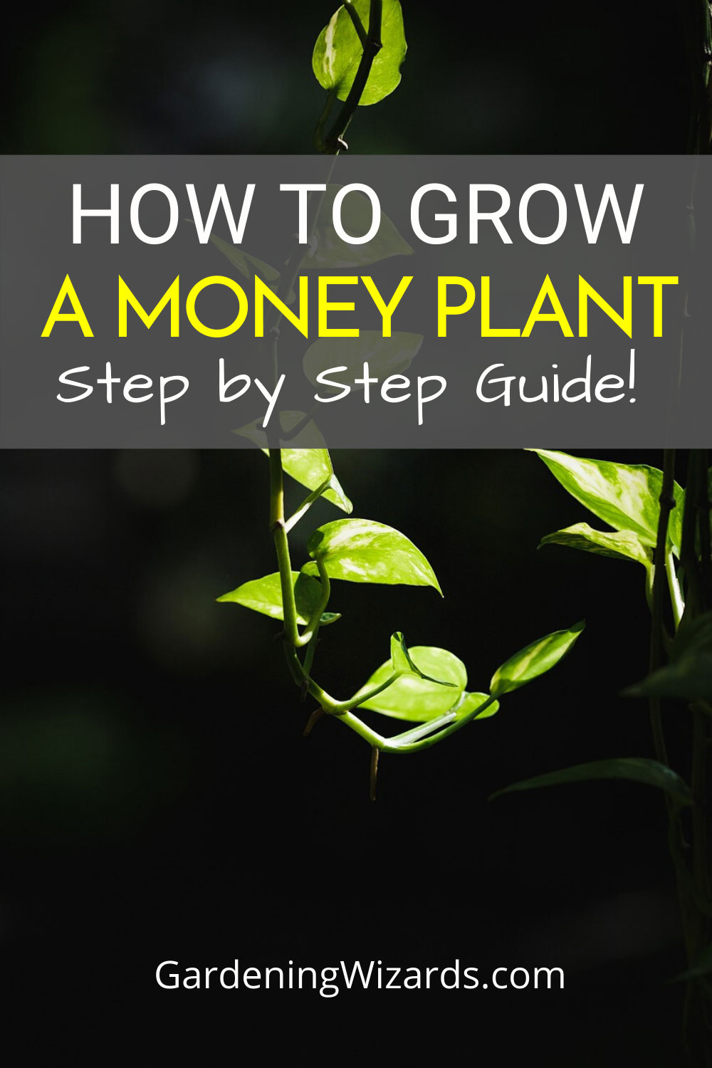 How to grow a money plant