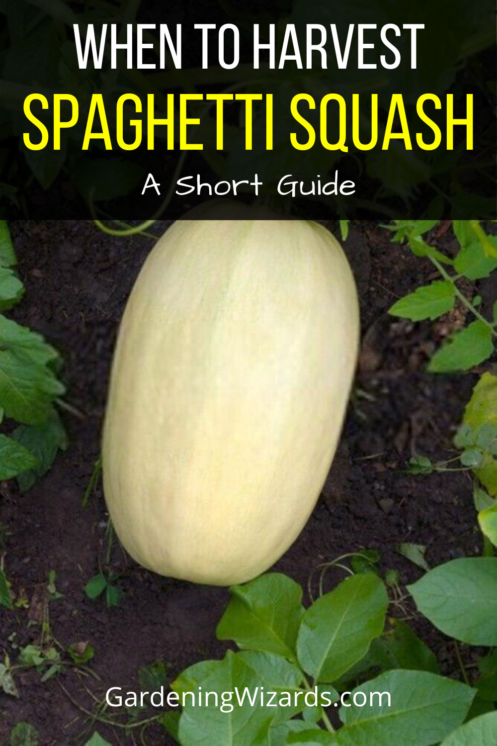 A Short Guide On When To Pick Spaghetti Squash